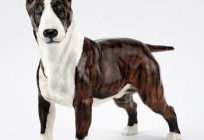 Dog with rat faces. Fighting dog bull Terrier: description, characteristics, photos