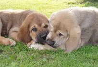 The Spanish Mastiff: description of the breed, character, photos and owner reviews