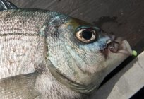 When the spring begins to bite bream? What biting bream?