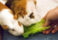 What eats a Guinea pig? The better to feed Guinea pigs?