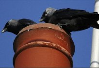 Jackdaw - a bird useful