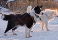 Yakut laika: description of the breed and photos