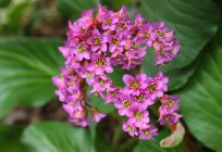 Plant bergenia: description, planting and care in the open ground, the use of