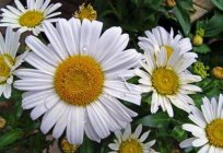 Powder of pyrethrum and its properties