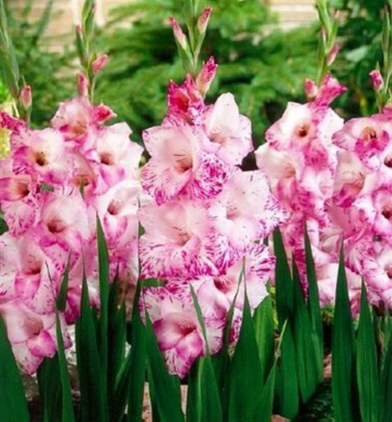 where to store gladiolus in winter