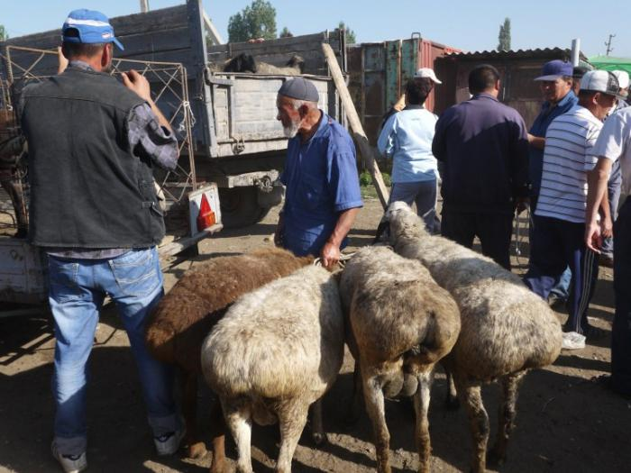 the breed of sheep Hissar