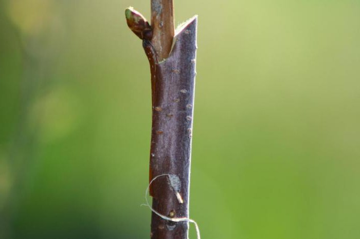 grafting Apple trees in August with the handle