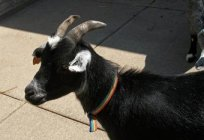 Dream interpretation: what dreams goat?