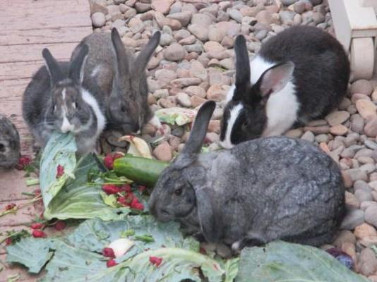Rabbits of meat breeds