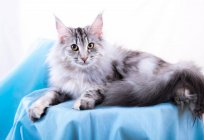 Description of the breed Norwegian forest cat: character, interesting facts and reviews