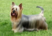 Australian Terrier: a description of the breed, character, peculiarities of maintenance and care