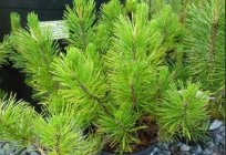 Pinus mugo – mountain pine: planting and care