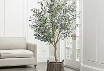 How to grow an olive tree?