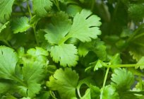 How to keep cilantro fresh for the winter? The methods of harvesting cilantro for the winter