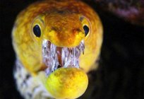 Moray eel (fish). Giant Moray: photo