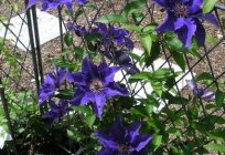 Supports for clematis is an important element of landscape design