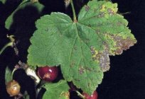 Pests and diseases of black currant. Action against them