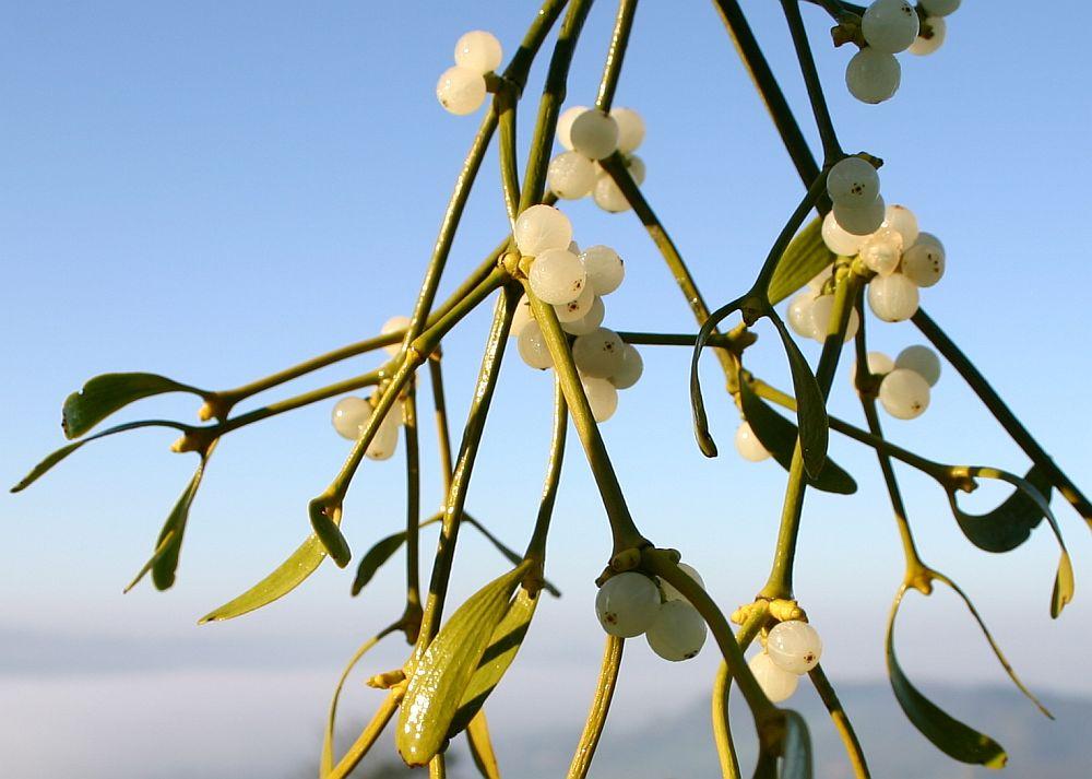 цветок омела картинки завтрашнем дне