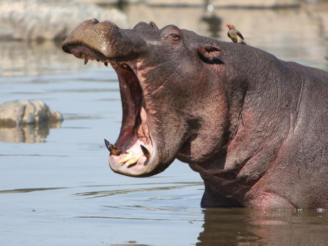 the average weight of the hippopotamus