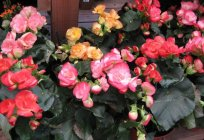 How to grow begonia from seed? Tips