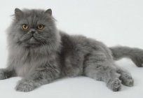 What are the breeds of gray cats?