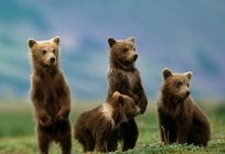 Brown bears: characteristics of growth and development