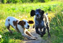 Russian Spaniel: a characteristic of the breed, reviews, description and features care
