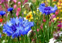 Flowers cornflowers: description, planting and care, especially the growing