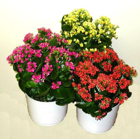 how to care for Kalanchoe at home
