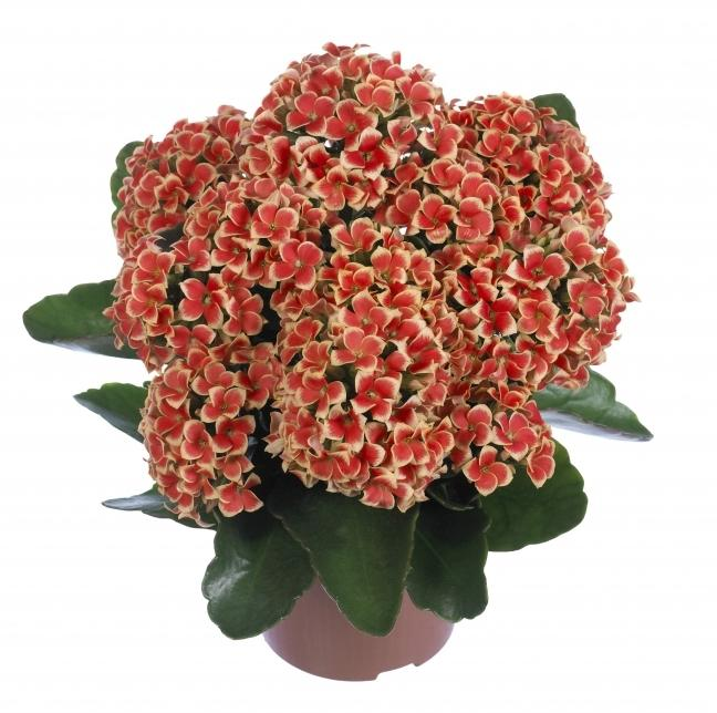 how to care for Kalanchoe at home 1