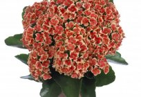 Will talk about how to care for Kalanchoe at home