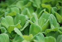 Aquarium plant piste, or water-salad: the description, photo, content
