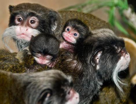 the Emperor Tamarin is a