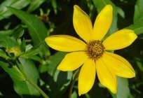 Bidens: care and cultivation, selection of soil and watering