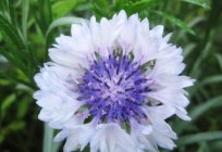 Garden cornflowers - a beautiful plant