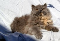 Cat breed Selkirk Rex: description, character, care