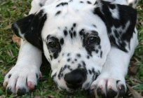 Dalmatians: description of the breed, character, reviews, photos