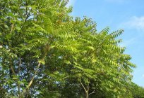 The Ailanthus (tree): photo description