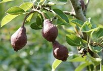 Pear Favorite Klappa: a description of the variety, the intricacies of growing and caring