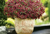 Calibrachoa: growing from seed. Garden flowers, calibrachoa: planting and care