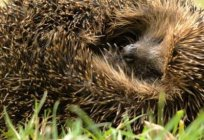 A riddle about a hedgehog for children should not carry misleading information!