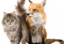 Fox home: the characteristics and conditions of detention. How to behave foxes as Pets